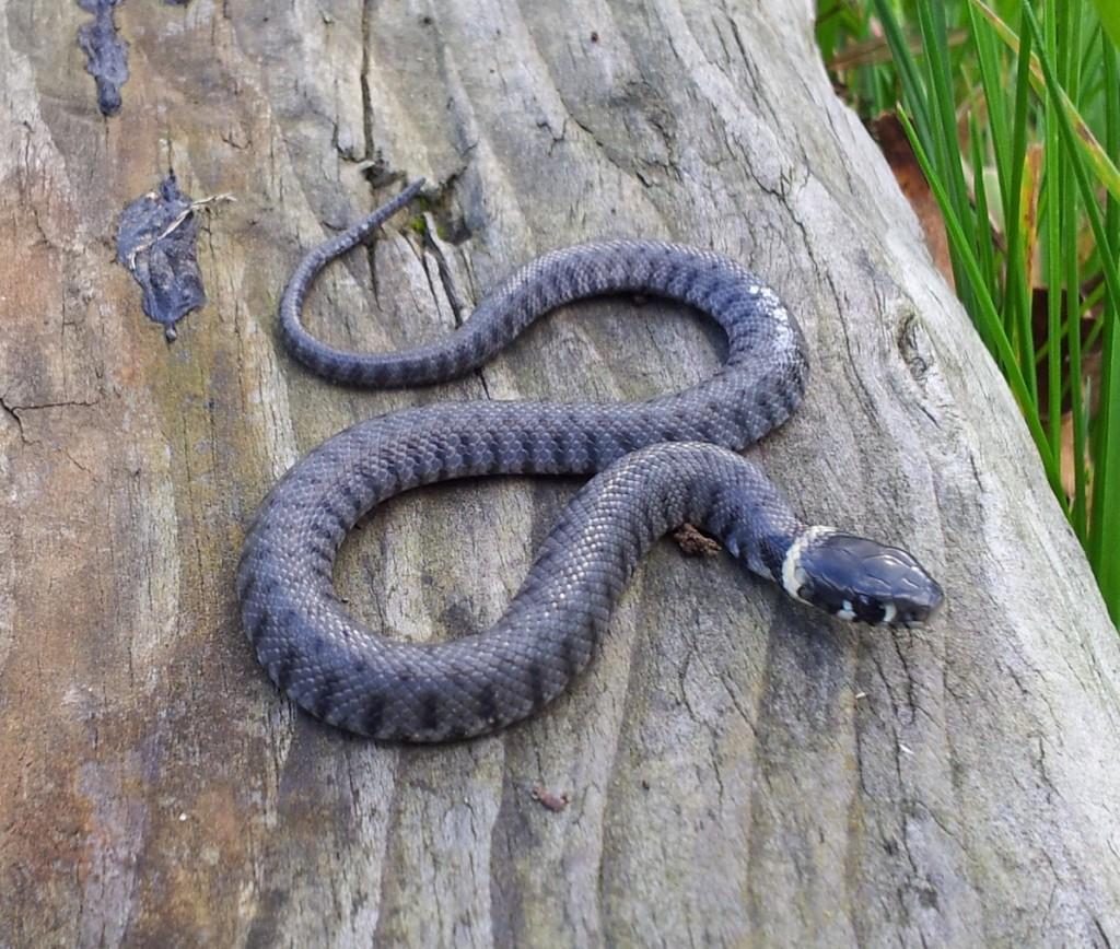 Eco grass snake